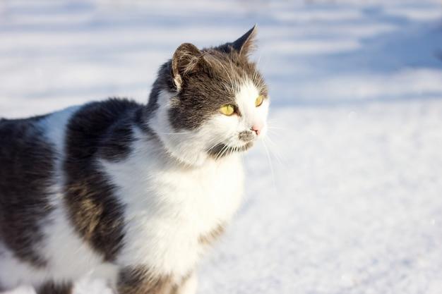 Portrait d'un chat domestique en hiver.