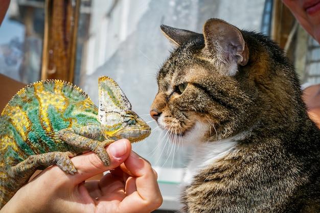 Portrait d'un chat domestique se bouchent avec un caméléon