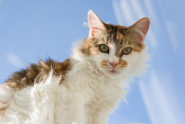 Portrait de chat domestique tricolore âgé de 10 ans