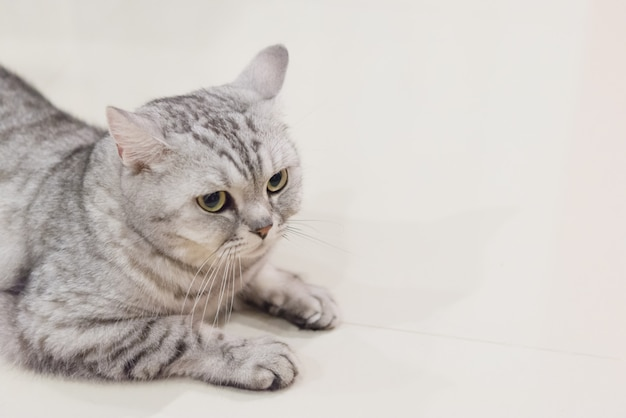 Portrait d'un chat écossais