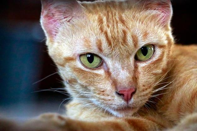 Portrait de chat gingembre orange regardant la caméra