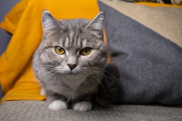 Portrait d'un chat gris aux yeux jaunes
