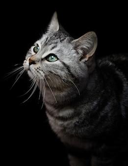 Portrait d'un chat gris aux yeux verts sur fond noir