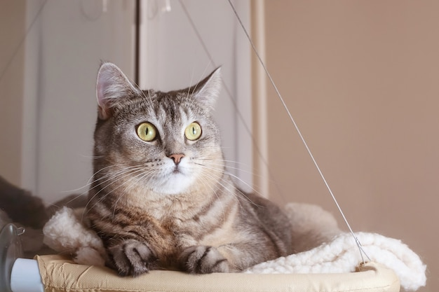 Portrait d'un chat gris aux yeux verts gros plan dans un hamac pour animaux de compagnie. animal curieux drôle mignon.