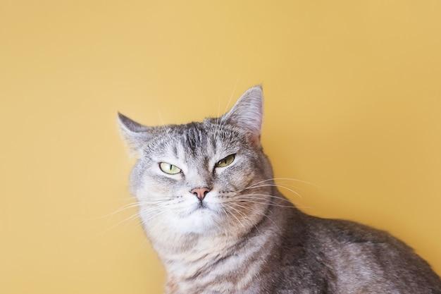Portrait d'un chat gris aux yeux verts gros plan sur fond jaune. animal curieux drôle mignon.