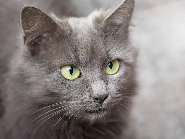 Portrait d'un chat gris aux yeux verts gros plan