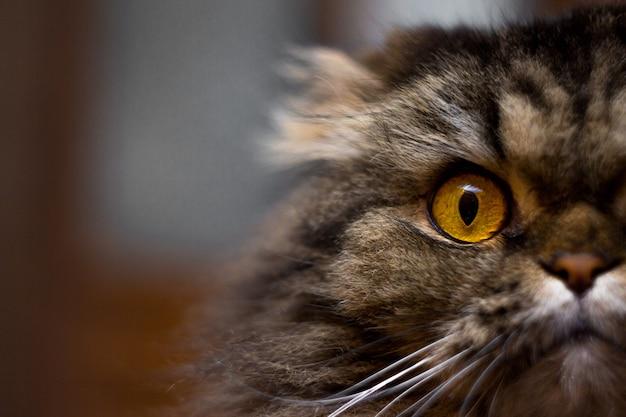 Portrait de chat gris sérieux avec de grands yeux