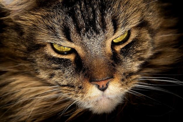 Portrait d'un chat maine coon aux yeux verts close-up
