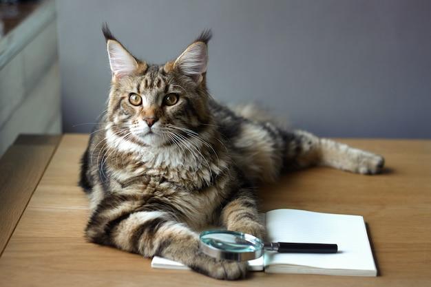 Portrait de chat maine coon
