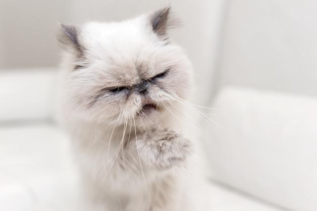 Portrait de chat persan mignon sur un canapé blanc
