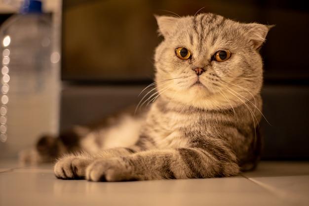 Portrait chat pli écossais dans le studio.