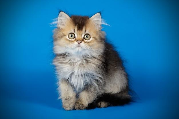 Portrait d'un chat à poil long droit écossais sur un mur de couleur