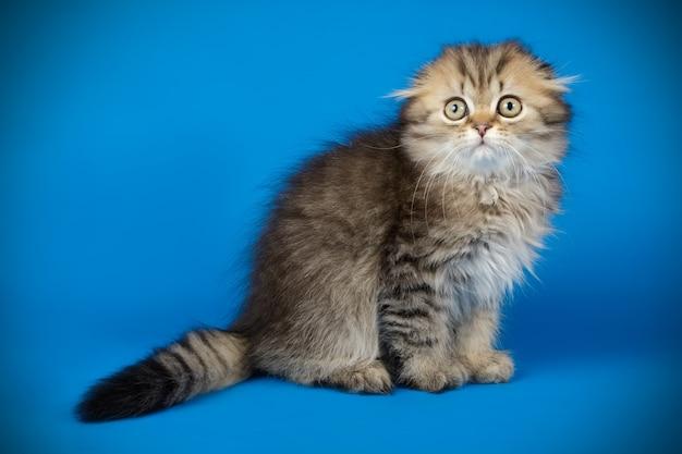 Portrait d'un chat à poil long scottish fold sur mur de couleur
