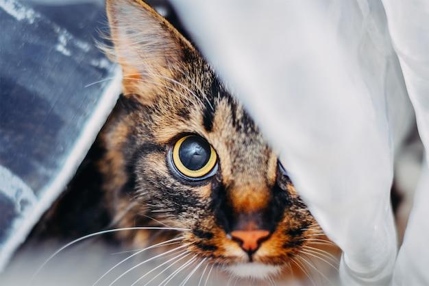 Portrait, de, chat, regarder gros yeux, appareil photo, caché derrière, rideau