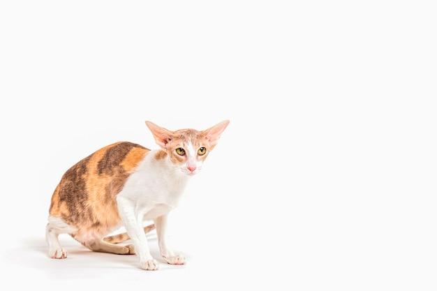 Portrait de chat rex corniche alerte isolé sur fond blanc