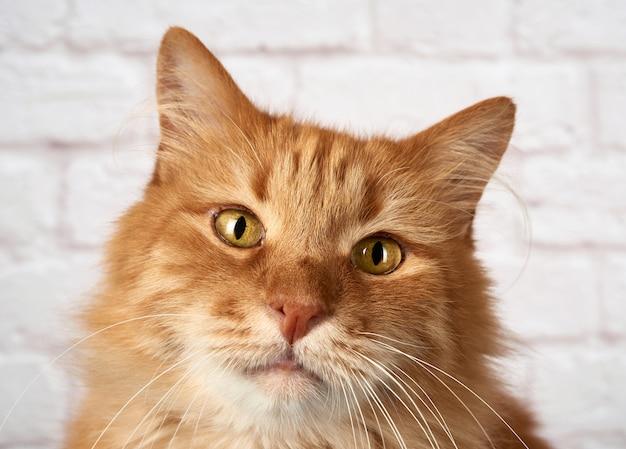 Portrait d'un chat rouge adulte, émotion triste sur blanc