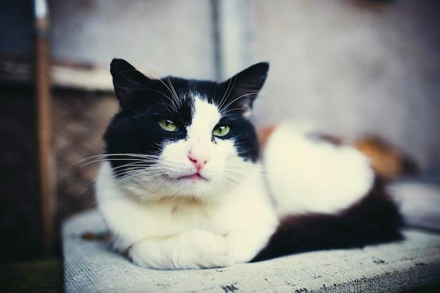 Portrait de chat rural noir et blanc aux yeux verts.