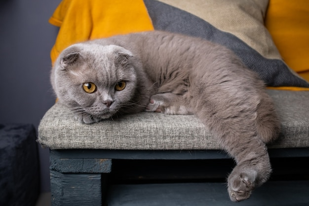 Portrait d'un chat scottish fold gris