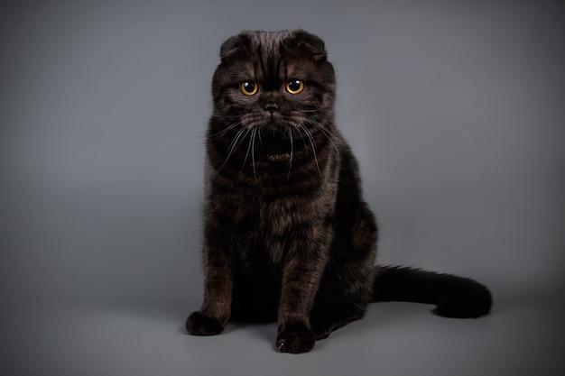 Portrait d'un chat scottish fold à poil court sur mur de couleur