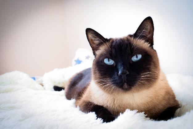 Portrait d'un chat siamois sur un canapé à la maison.