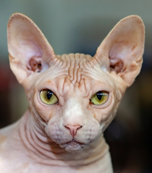 Portrait de chat sphinx aux yeux jaunes.