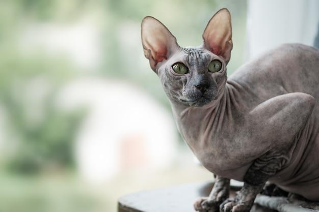 Portrait d'un chat d'un sphinx regarde dans les yeux