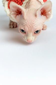 Portrait de chat sphynx chauve sur fond blanc