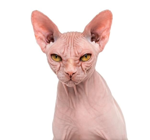 Portrait de chat sphynx sans poil isolé