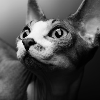 Portrait de chat sphynx