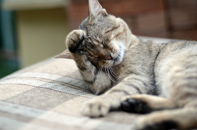 Portrait de chat tigré assis et léchant ses cheveux à l'extérieur et se trouve sur un canapé marron