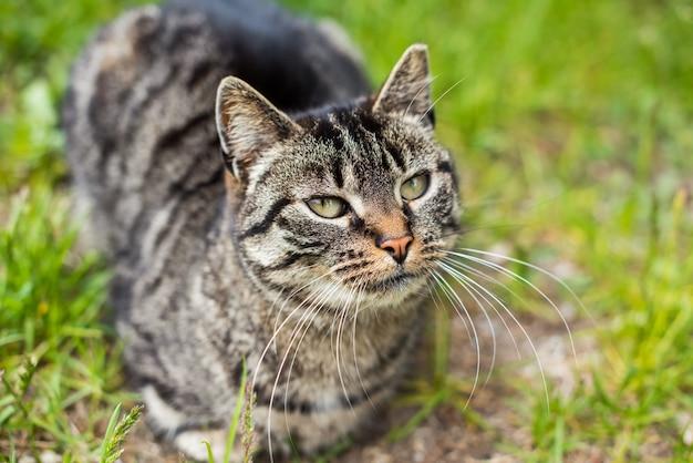 Portrait d'un chat tigré gris avec de longues moustaches. animal mignon. visage de chat