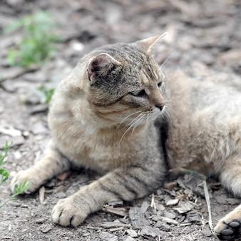 Portrait d'un chat tigré à rayures grises aux yeux verts