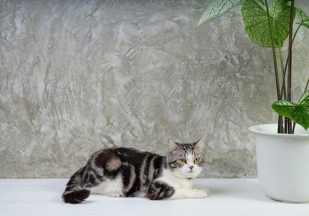 Portrait chat tigré sur table en bois avec de l'air purifier les plantes d'intérieur caladium bicolor vent, araceae, ailes d'ange, oreille d'éléphant sur fond de mur de ciment pot blanc