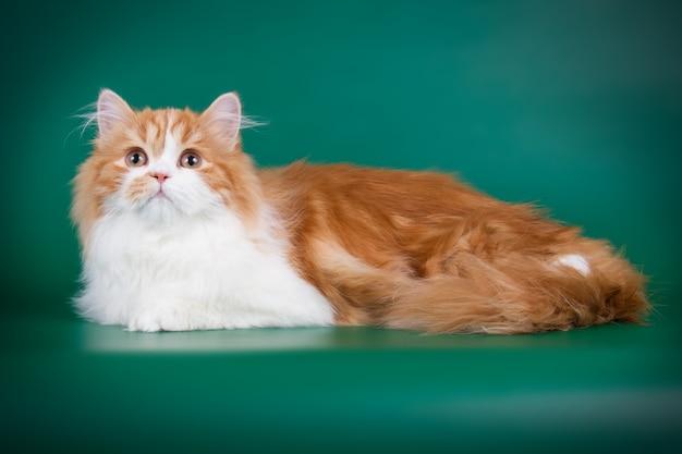 Portrait de chat tout droit highland sur mur de couleur