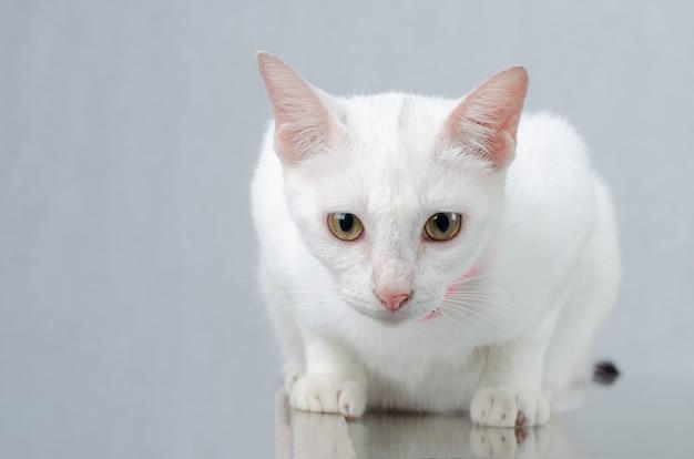 Portrait de chaton blanc pur chat blanc avec des yeux sur fond isolé, vue de face