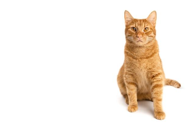 Portrait de chaton gingembre isolé sur fond blanc avec un espace pour le texte. le chat lève les yeux. espace de copie. bannière.