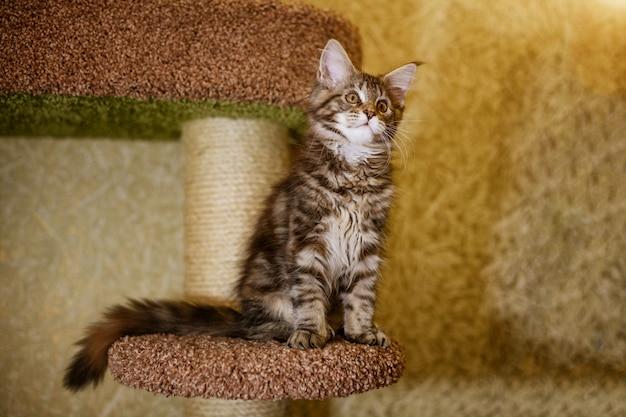 Portrait d'un chaton mignon de la race maine coon