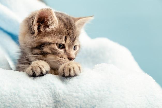 Portrait de chaton avec patte en vue de profil à côté avec intérêt pour la question. chaton tigré mignon en plaid bleu. chaton nouveau-né bébé chat kid animal domestique.