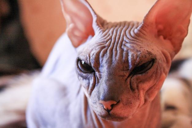 Portrait chaton sphinx tabby, chat chauve, petit bébé chat