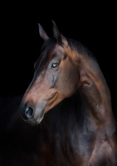 Portrait d'un cheval bai