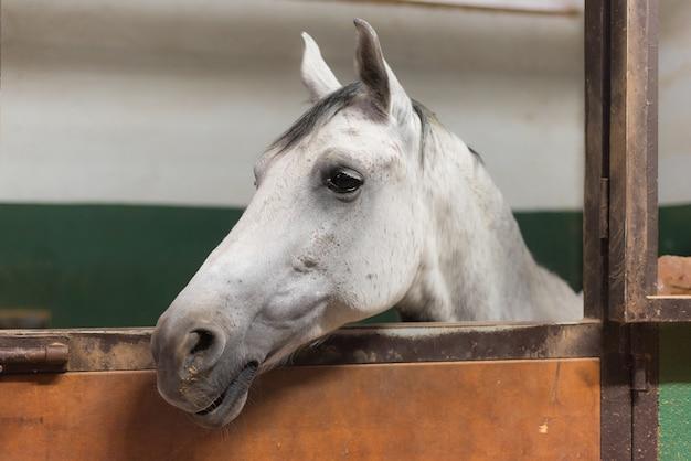 Portrait de cheval blanc dans l'écurie