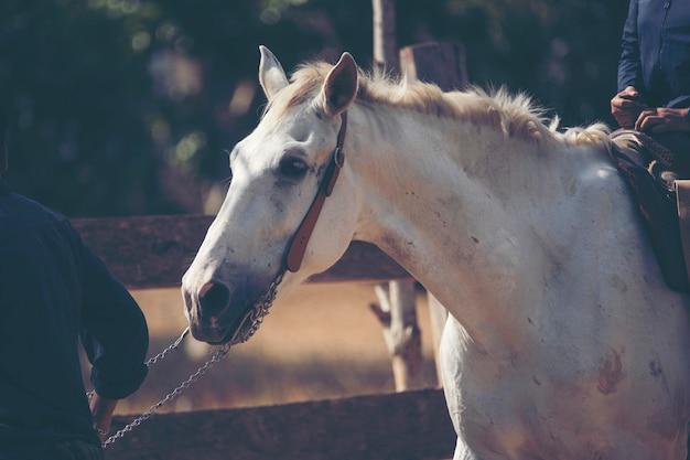 Portrait, cheval blanc, ferme