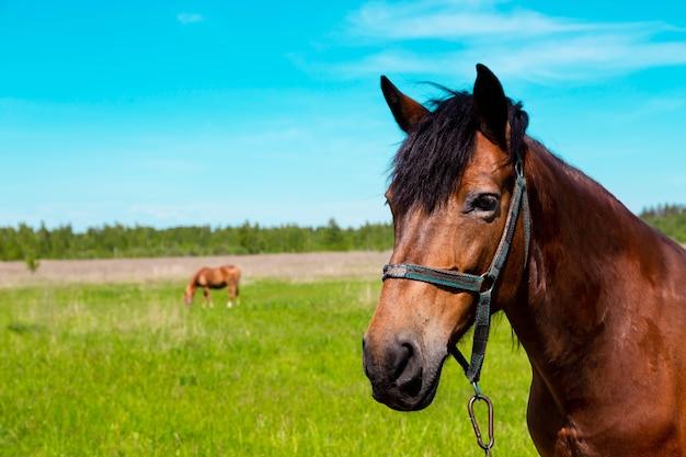 Portrait de cheval brun au champ d'herbe verte en été