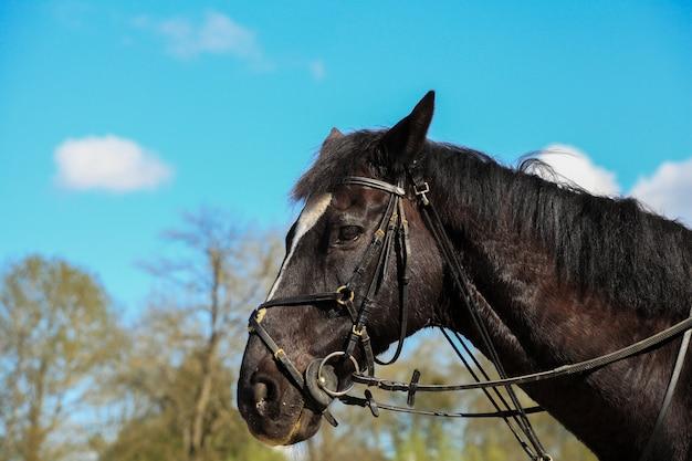 Portrait de cheval pur sang anglais