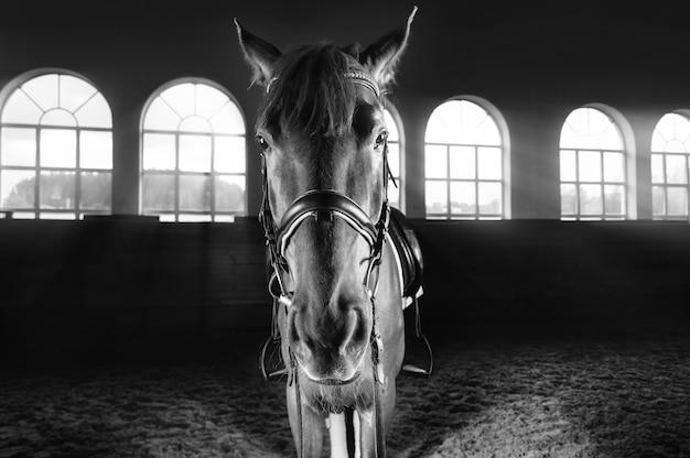 Portrait d'un cheval pur-sang dans l'arène. concept de sport équestre. technique mixte