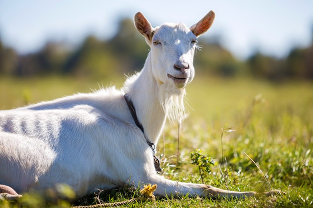 Portrait de chèvre blanche avec barbe. concept d'élevage d'animaux utiles.