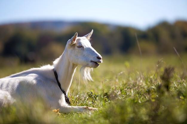 Portrait de chèvre blanche avec barbe sur fond flou bokeh. concept d'élevage d'animaux utiles.