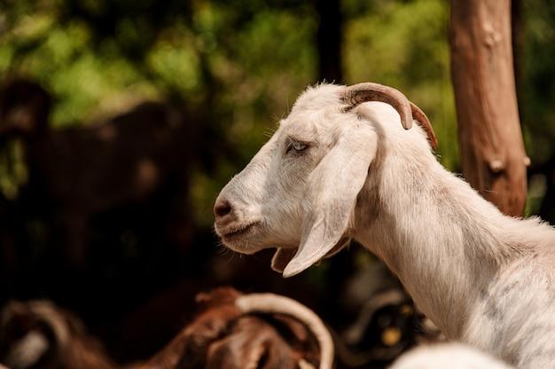 Portrait d'une chèvre blanche avec de petites cornes à l'extérieur
