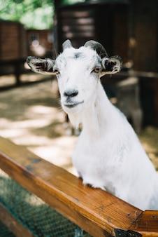 Portrait de chèvre blanche