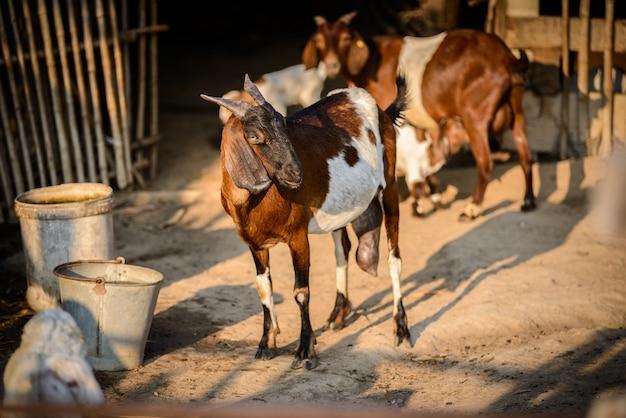 Portrait de chèvre à la ferme